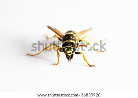 Wasp (Dolichovespula Vulgaris), macro on white background