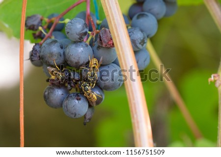 Wasp feeding on a grape. Wasp eats a grape in a vineyard. close-up