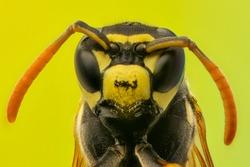 Wasp head Macro Shot Hot. Extreme macro shot.