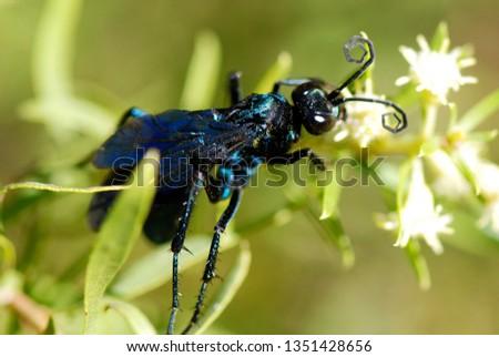 Wasp-hunter photographed in Guarapari, Espirito Santo - Southeast of Brazil. Atlantic Forest Biome. Picture made in 2007.