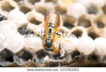 wasp in the nest takes care of the offspring protects and feeds the larvae #1151962601