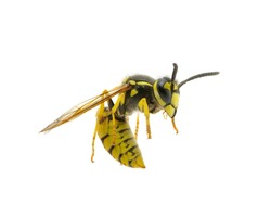 wasp isolated on white background