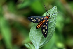 Wasp Moth. this species is black with yellow or orange ribbons on the belly, and transparent windows on the wings. This species is camouflaged like most sting wasp species