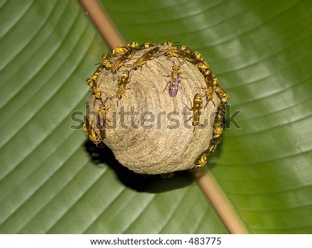 Wasp nest from the Costa Rica jungle