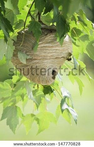 Wasp nest hanging from tree branch with leaves in daylight.