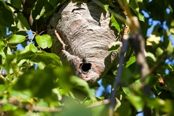 wasp nest made by wasps on a tree in the garden, closeup of a hive of wild wasp insects in the summer season