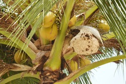 Wasp nest nesting living on coconuts.