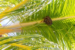 Wasp nest on coconut tree leave in Mauritius