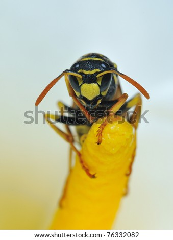 Wasp on a flower. Stock photo ©