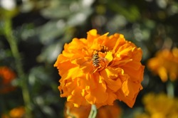 Wasp on a flower. On a yellow flower. Wasp, Pollen, Flower, Yellow.