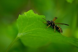 Wasp on a green leaf. Parts of the body of a wasp close-up. Insect close-up. Yellow pattern on the black body of a wasp. Green background. nature, Macro image of a Vespula germanica, European wasp