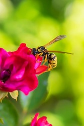 Wasp on a red flower. Macro photo. Texture of red petals. Wasp close-up. Drawing on the body of a wasp. The wasp pollinates the flower. Small red rose. Green background. Bokeh