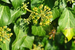 Wasp on an ivy flower. flowering ivy.