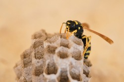 Wasp on his nest. close up paper wasp on his nest. nature background.