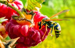 Wasp on raspberry macro view. Red raspberry wasp. Wasp on raspberry