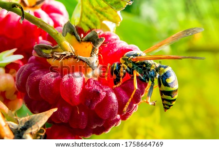Photo of  Wasp on raspberry macro view. Red raspberry wasp. Wasp on raspberry