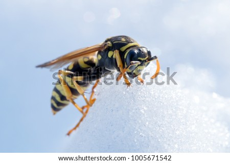 Wasp on snow. Macro photo of the fighter wasp on snow. Hornet in full action during the winter or spring season.  Insect comes alive after a cold winter. Snow fall during summer season, as cataclysm.