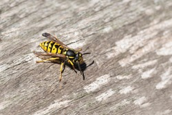 wasp or yellow jacket on weathered wood looking for material for the nest, the wasp plague in summer is dangerous for allergy sufferers, copy space