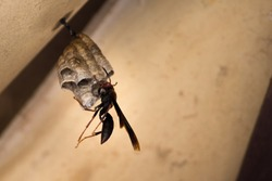 Wasp Pepsis Fabricius building your house on the construction ceiling