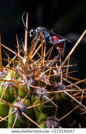 Wasp photographed in Guarapari, Espírito Santo - Southeast of Brazil. Atlantic Forest Biome. Picture made in 2007.