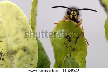Wasp resting atop a vegetable garden leaf appears to be smiling