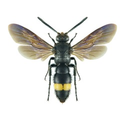 Wasp Scolia asiella (male) on a white background