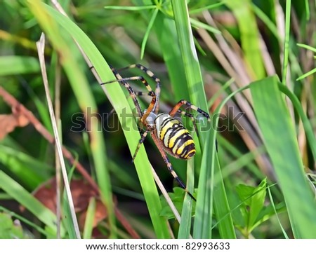 Wasp spider (Argiope bruennichi) female on grass blade