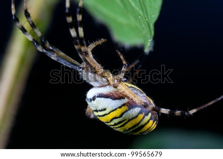wasp spider  (Argiope bruennichi) in the foliage