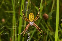 Wasp spider (Argiope bruennichi) on web. Black and yellow stripe Argiope bruennichi wasp spider on web