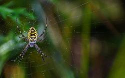 Wasp spider (Argiope bruennichi) on web. Black and yellow stripe. Large, colorful spider