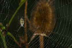 Wasp spider (Argiope bruennichi) on web. Black and yellow stripe. Large, colorful spider. Copy space. Card, cover book.