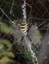 Wasp spider (Argiope bruennichi) on web. Black and yellow stripe. Large, colorful spider. Water drops. Dew.
