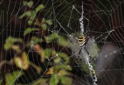 Wasp spider (Argiope bruennichi) on web. Water drops. Dew. Black and yellow stripe. Large, colorful spider