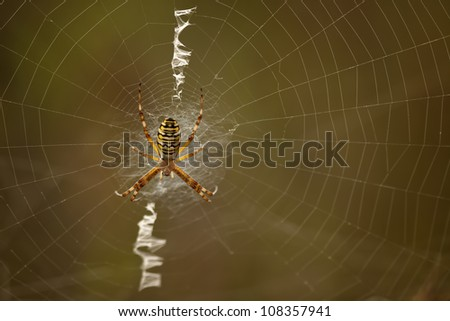 Wasp Spider waiting for his next victim