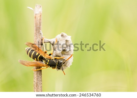 Wasp starts building colony nest on a cut dry Salvia stalk in protected area of Yamskaya Steppe, Belgorod region in southern Russia