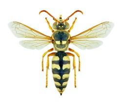 Wasp Stizus bipunctatus (female) on a white background
