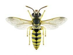 Wasp Stizus continuus on a white background