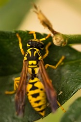 Wasp. Ultra macro photo. Wasp on a green leaf. Parts of the body of a wasp close-up. Insect close-up. Yellow pattern on the black body of a wasp. Green background