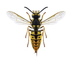 Wasp Vespula germanica (female) on a white background
