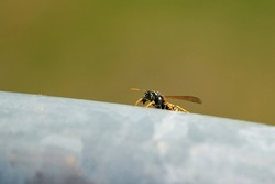 Wasp (Vespula germanica) on the handrail of a railing in summer