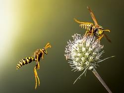Wasps fly around the flower. Predatory wasps.
