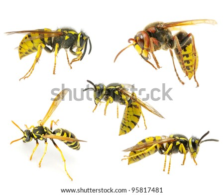 wasps isolated on white background