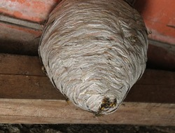 wasps nest and wasps on the ceiling