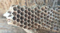 Wasps' nest, dwelling place of wasps