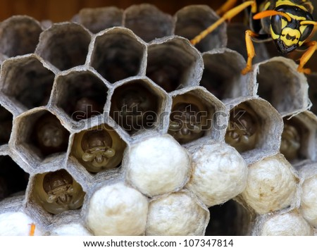 wasps nest with larva