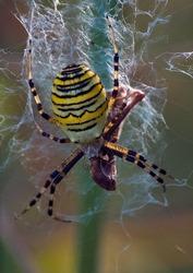 Wasps-spider eat their prey.