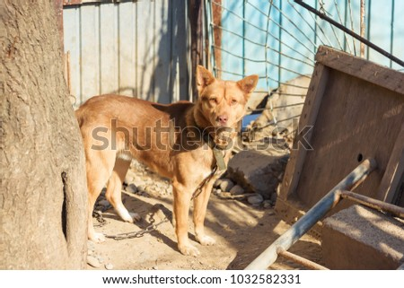 watchdog yellow dog, not thoroughbred aggressive dog