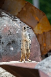 Watchful and alert Meerkat on the lookout standing on a stone