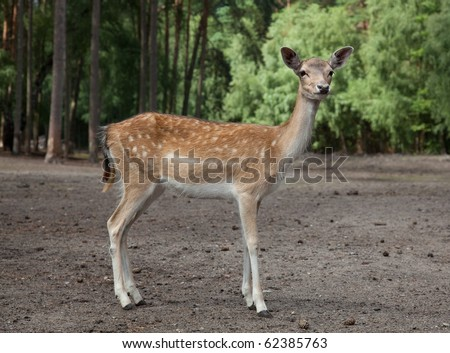 Watchful and very cute young deer in the forest