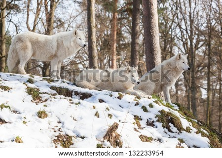 watchful arctic wolf pack of three animals on a hill in winter forest, standing, sitting and lying